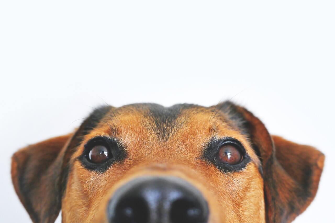 """Τι """"βλέπουν"""" οι σκύλοι όταν μυρίζουν;"""